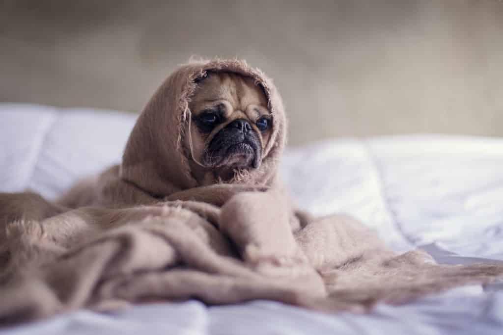 stress pug